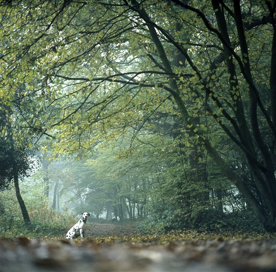 Photo:Autumn in Hockley Wood with 'Dotty' the Dalmatian sitting in where I'd imagined a stag or something